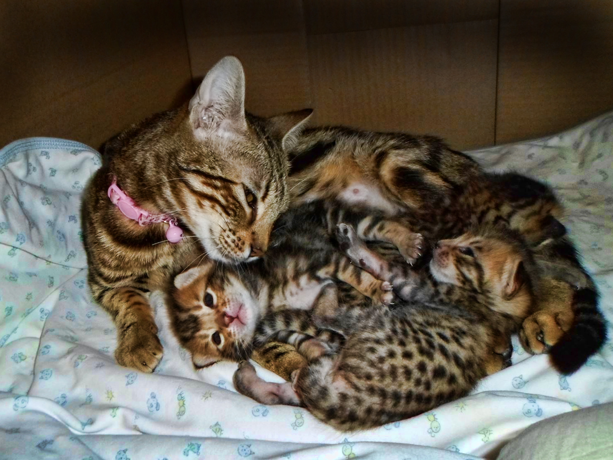 savannah cats Looking for savannah cats for sale in iowa or illinois look no further than from the savannah cat breeders at a savannah cat cattery click for more.