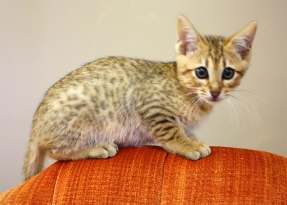 Sun, male kitten recently weaned ready for placement. Progeny of Lee Lee $1800.00