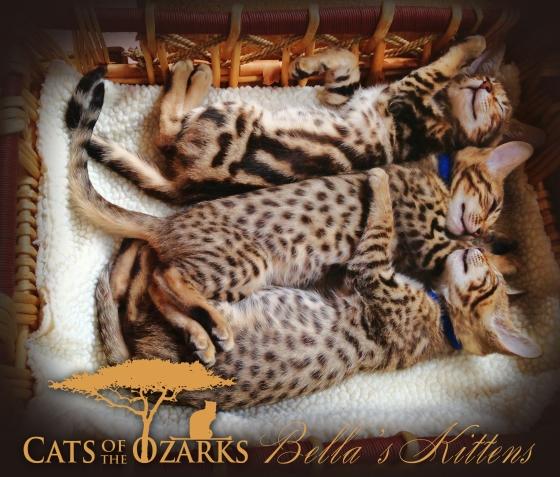 bellas-kittens