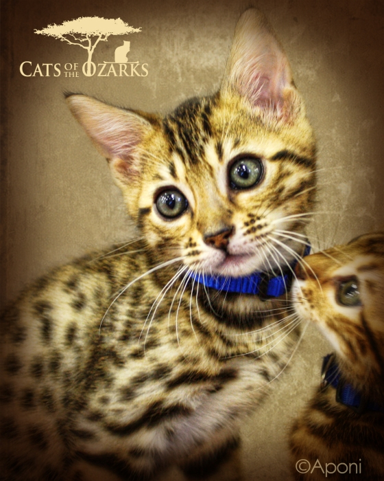 Savannah Cats in the Ozarks!